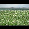17_CCVS_002_Villers_Bretonneux_Patates_20070703 - image/jpeg